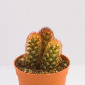 Mammillaria elongata DC. นิ้วนาค