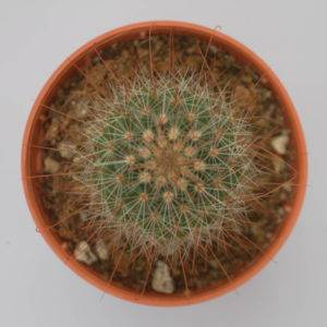 V019 Mammillaria sp.