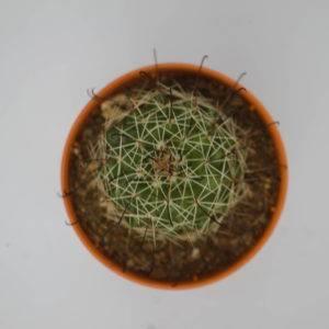 Mammillaria benekeii