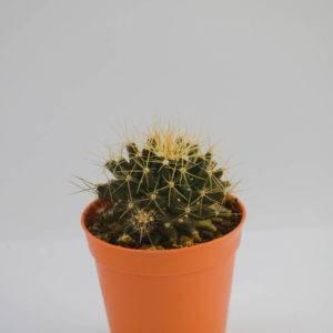 V026 Mammillaria nivosa