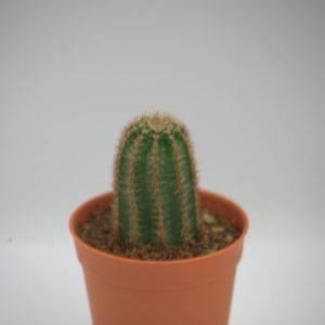 Echinopsis แบบกอ