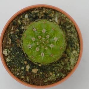 Notocactus ottonii