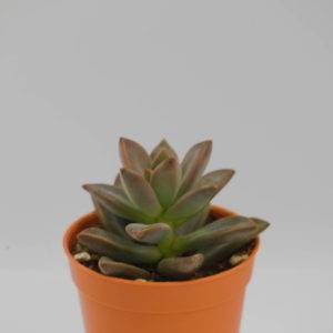 V505 Sedum Bronze Delight