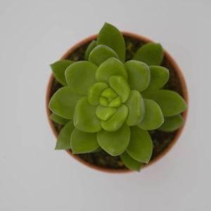 Echeveria sp.