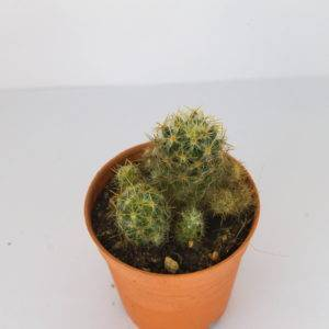 Mammillaria prolifera ssp. Arachnoidea