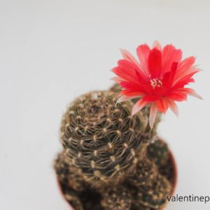 Lobivia (L78) ดอกสีแดงกำมะหยี่