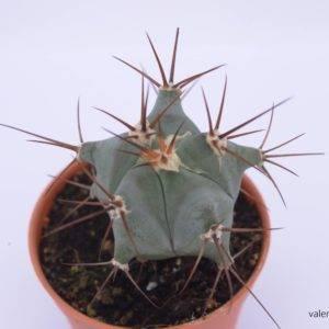 EH001 Echinocactus Grandis