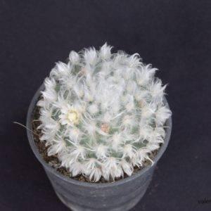 M005-3 Mammillaria ขนแกะ ในกระถาง 3 นิ้ว