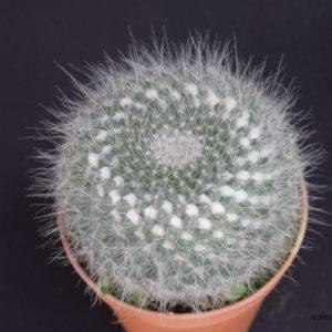 M006-3 Mammillaria Hahniana ในกระถาง 3 นิ้ว