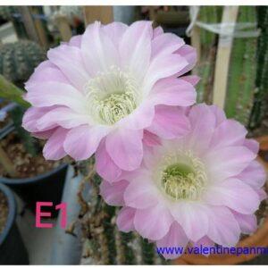E1 Echinopsis