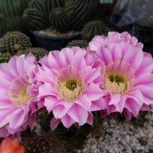 E197 Echinopsis