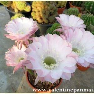 E25 Echinopsis
