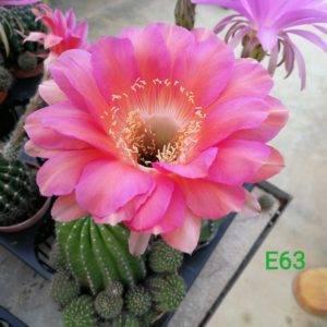 E63 Echinopsis