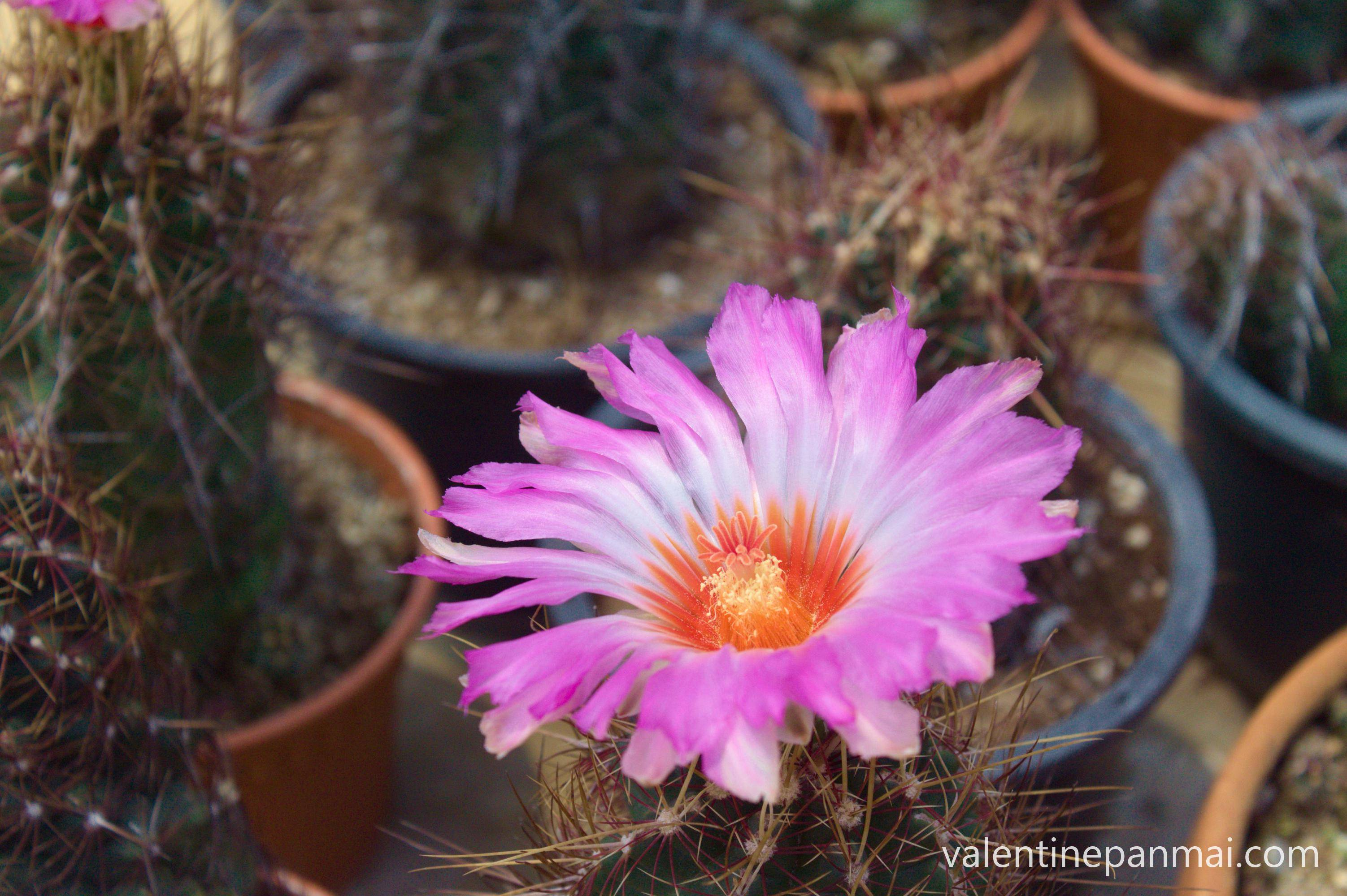 ดอก Thelocactus bicolor