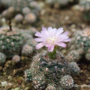 ดอก Gymnocactus