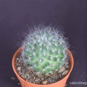 Mammillaria bocasana แมมขนแมว