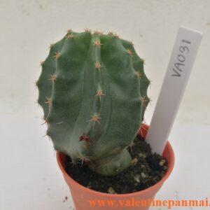 VA031 Echinocereus subnermiss