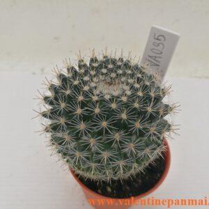 VA035 Mammillaria Hybrid มีริ้วรอยบริเวณโคนต้น