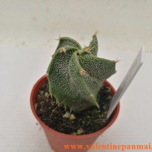 VA039 Astrophytum  ornatum มีริ้วรอยบริเวณโคนต้น