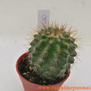 VA040 Notocactus muegelianus