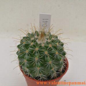 VA041 Notocactus muegelianus