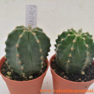 VA042 Echinocereus subnermiss