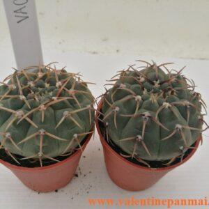VA043 Gymnocalycium ochoterenae ไม้เพาะเมล็ด