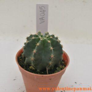 VA045 Echinocereus subnermiss