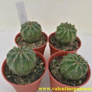VA047 Eriosyce sp.