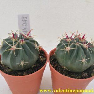 VA048 Ferocactus latispinus ต้นเพาะเมล็ด