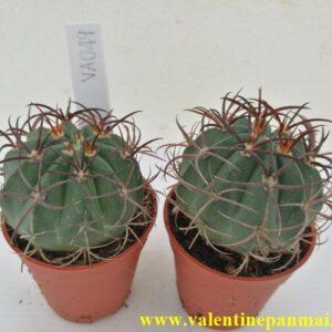 VA049 Melocactus matanzanus