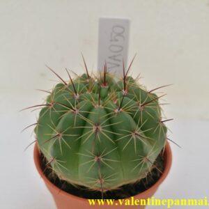 VA050 Notocactus ottonis
