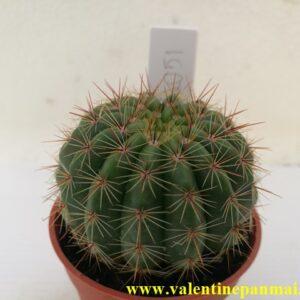 VA051 Notocactus ottonis