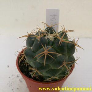 VA054 Coryphantha