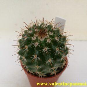 VA055 Notocactus muegelianus