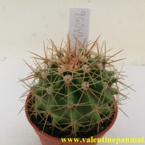 VA056 Ferocactus