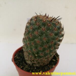 VA057 Mammillaria huitzilopocht