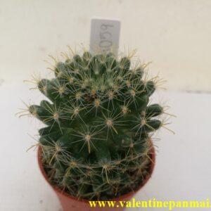VA059 Mammillaria sp.