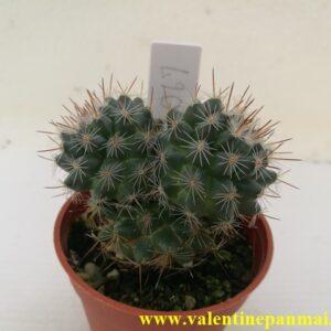 VA067 Mammillaria sp. แฝดหน่อ