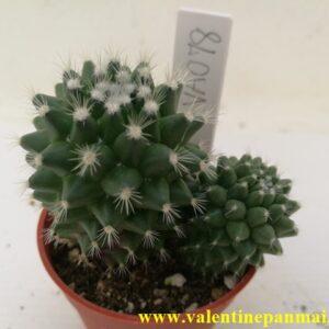 VA078 Mammillaria vagaspina 'Helen' แฝดหน่อ