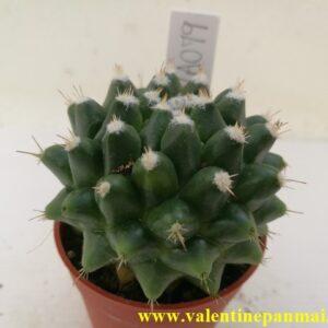 VA079 Mammillaria bucareliensis cv.Erusamu