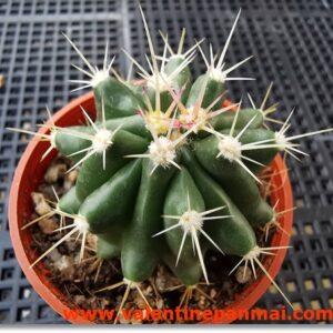 VA003 Ferocactus sp.