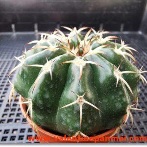 VA011 Discocactus sp.