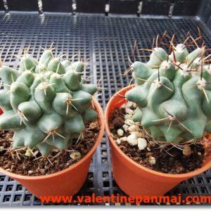 VA019 Thelocactus rinconensis