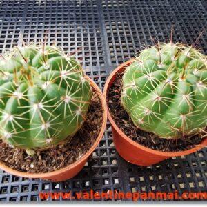 VA024 Notocactus ottonis