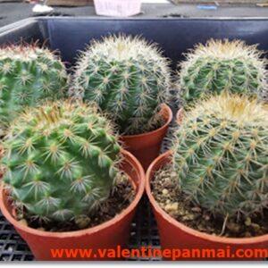 VA025 Notocactus muegelianus เพาะเมล็ดสีหนามแตกต่างกัน
