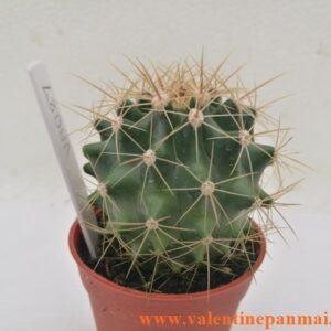 VA027 Ferocactus sp.