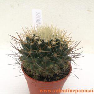 VA028 Mammillaria nivosa