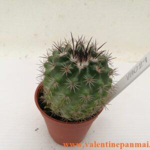 VA029 Notocactus muegelianus