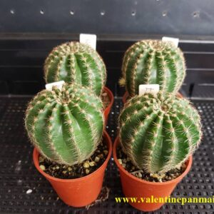 Echinopsis (E197)